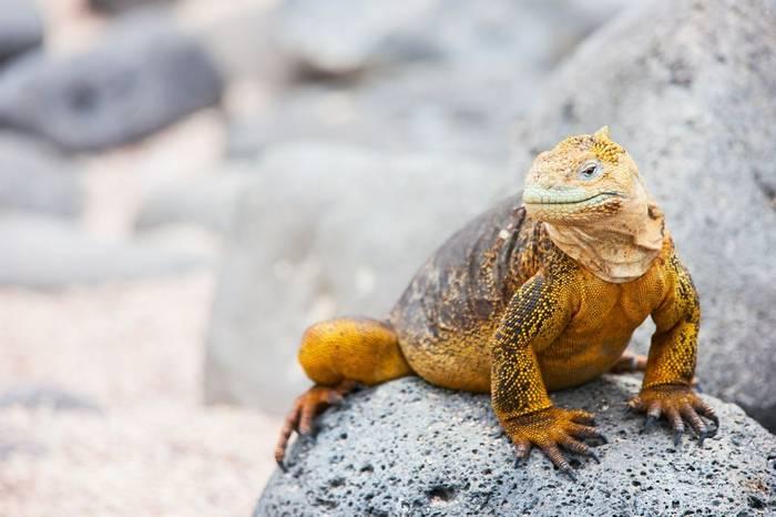Galapagos Land Iguana shutterstock_137357189.jpg