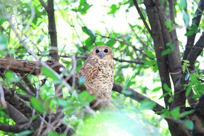 Pel's Fishing Owl .jpg