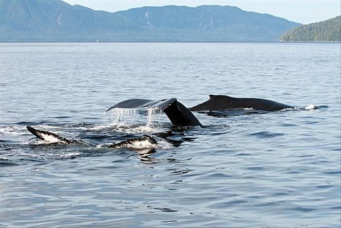 Humpback Whales (Paul Stanbury)