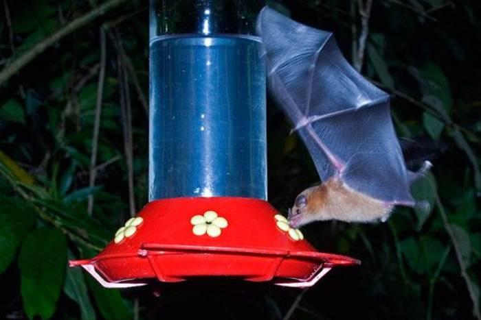 Bat feeding on Nectar (David Tipling)