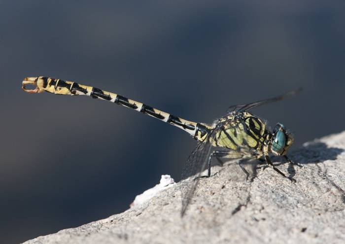 Large Pincertail, Spain shutterstock_1488263012.jpg