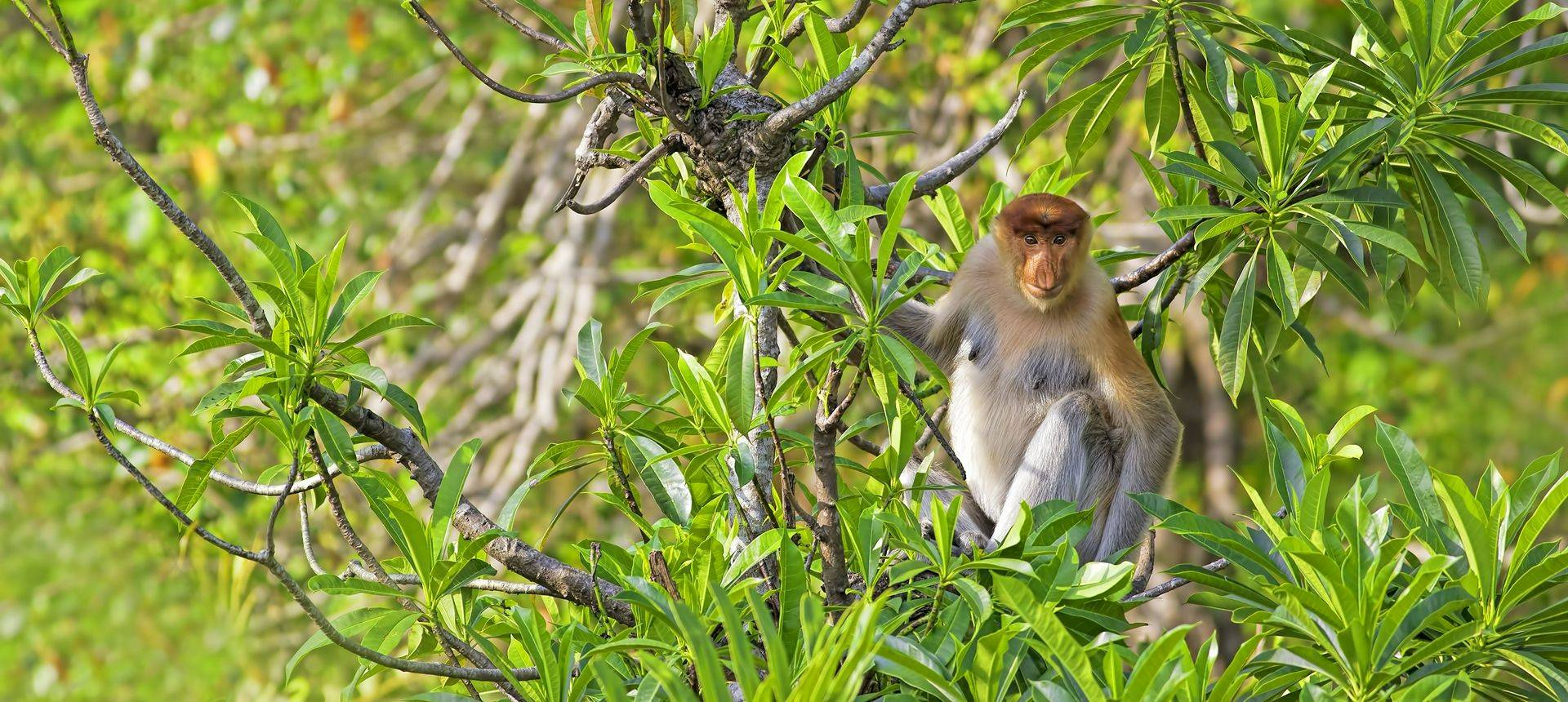 Proboscis Monkey Borneo  Shutterstock 157599356