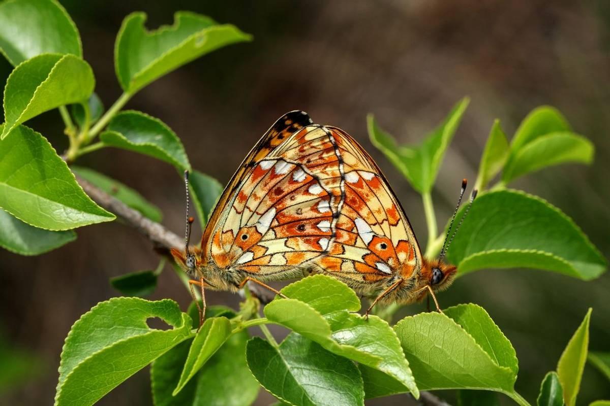 Pearl Bordered Fritillary Shutterstock 369576596