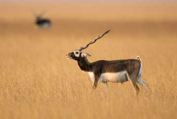 Blackbuck, Gujurat, India shutterstock_1063290938.jpg