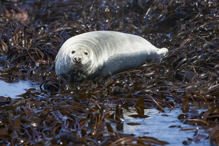 Grey Seal (Oliver Smart)