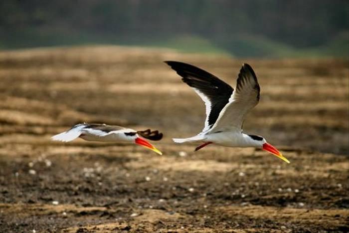 Indian Skimmers (David Raju)
