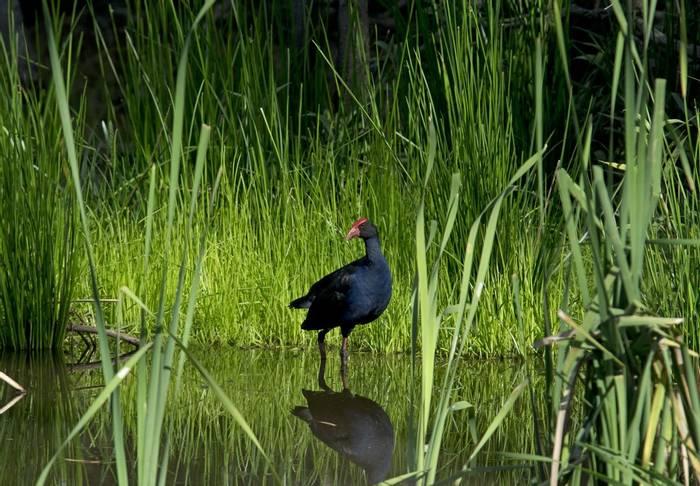 Purple Swamphen Shutterstock 170723540