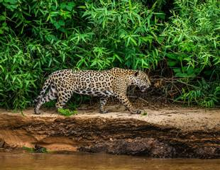 South America's Big Cats
