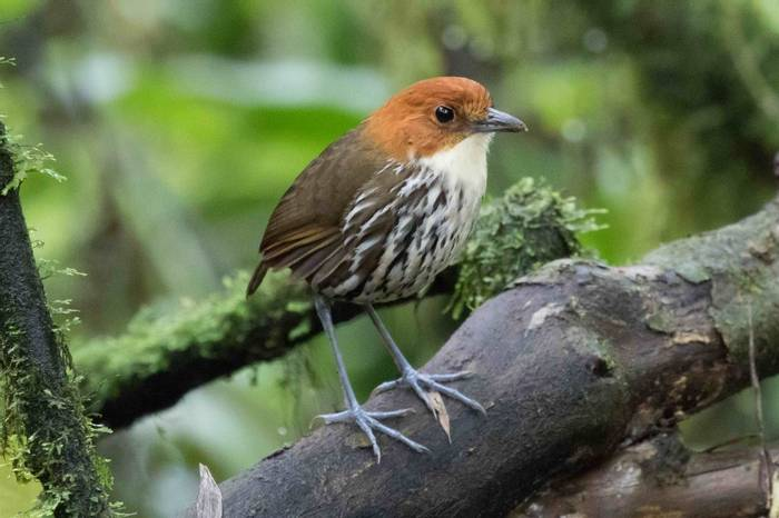 Chestnut-crowned Antpitta (Chris Hutchinson)