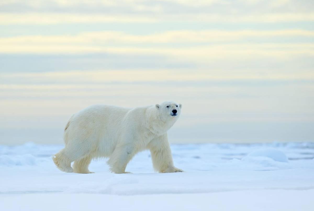 Polar Bear, Svalbard Shutterstock 705674020