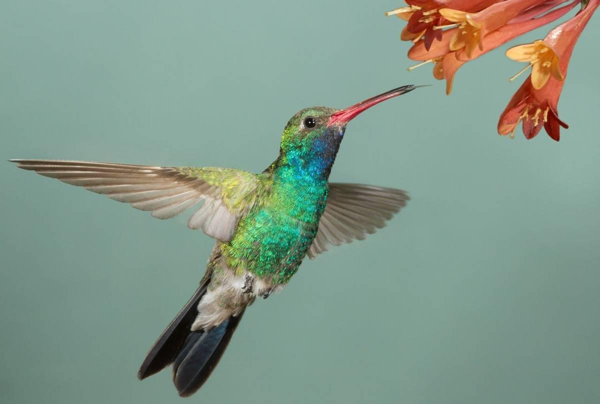 Broad Billed Hummingbird, Arizona, USA Shutterstock 143561293