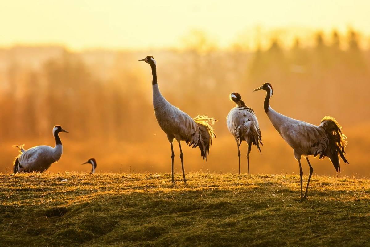 Common Crane. Shutterstock 184195787