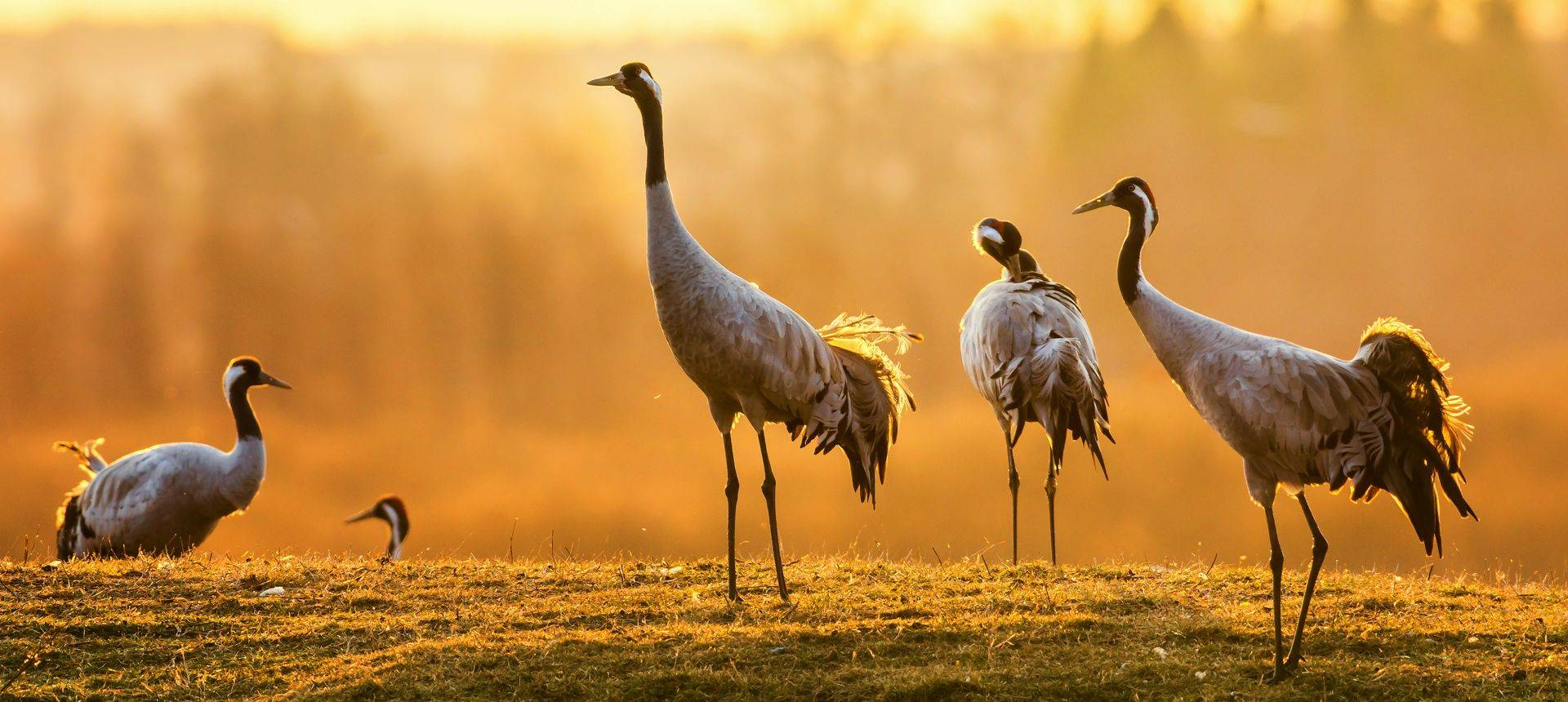 Common Crane. Shutterstock 184195787