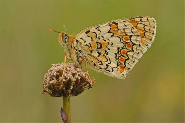 Knapweed Fritillary (David Morris)