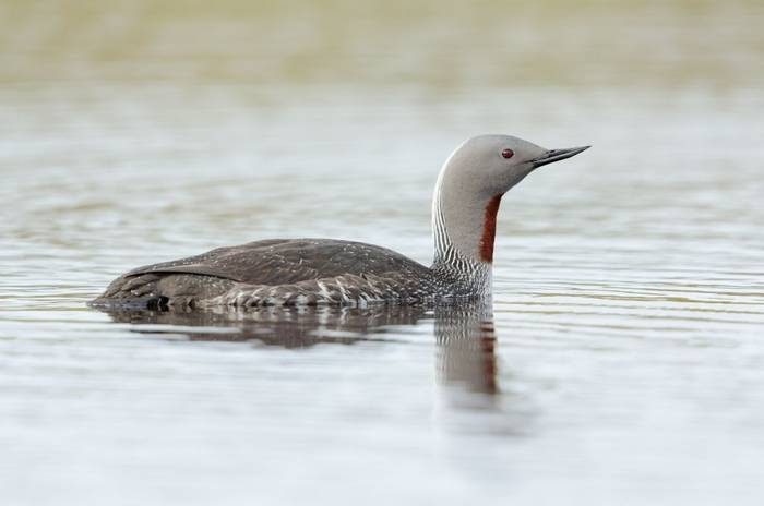 Red-throated Diver shutterstock_116488144.jpg
