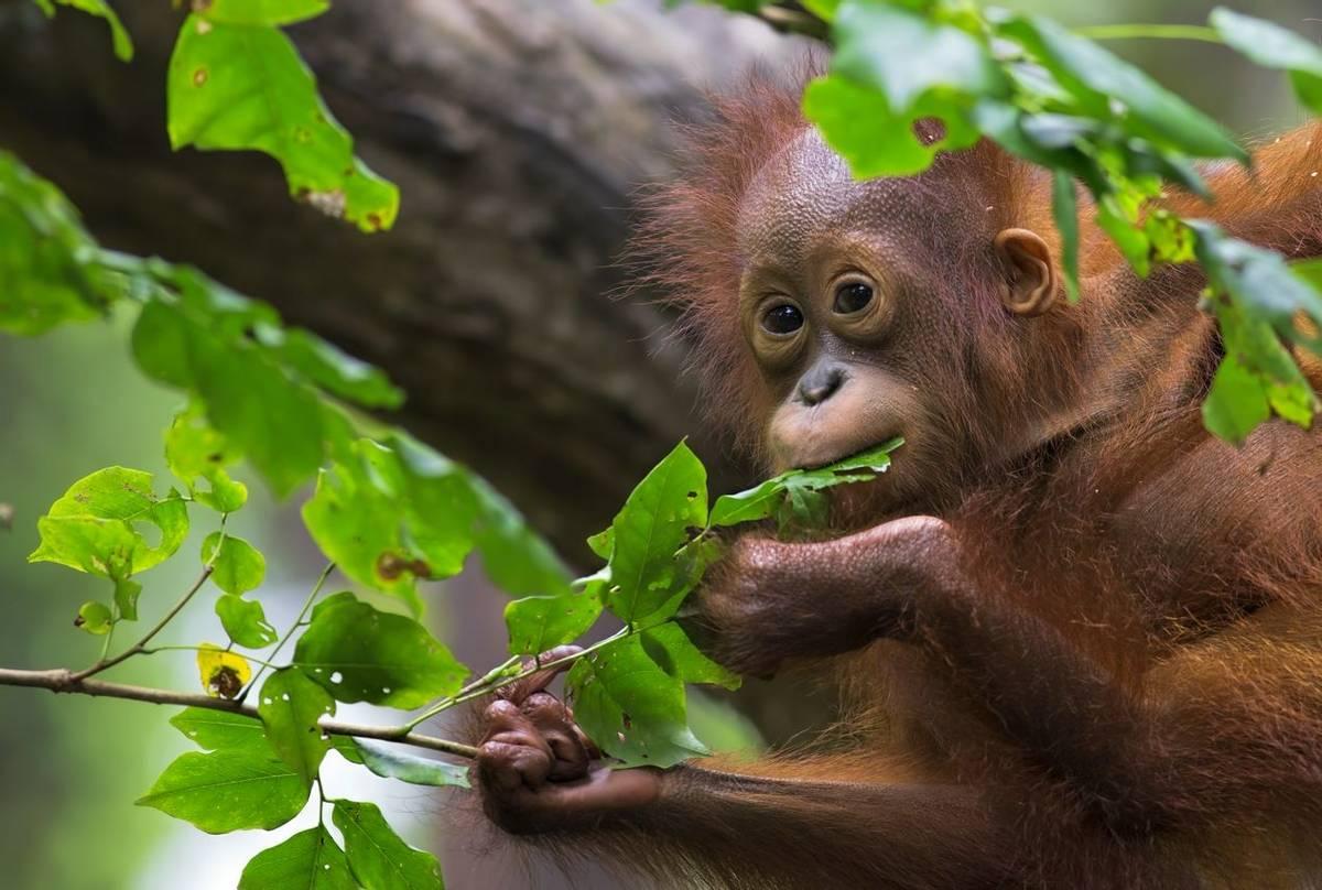 Orangutan, Borneo shutterstock_221353888.jpg