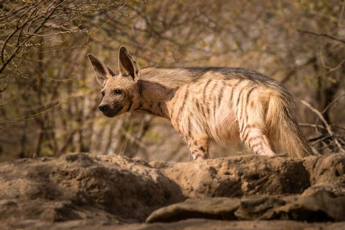 Striped-Hyena,-Gujurat,-India-shutterstock_1114260389.jpg