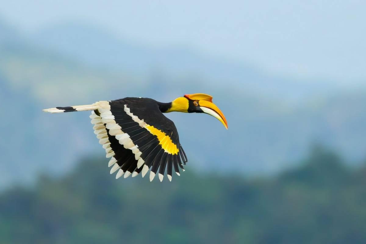 Giant Hornbill Shutterstock 164711750