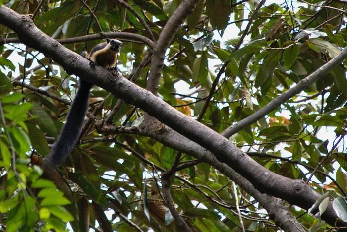 Black Giant Squirrel, Vietnam shutterstock_1108822550.jpg