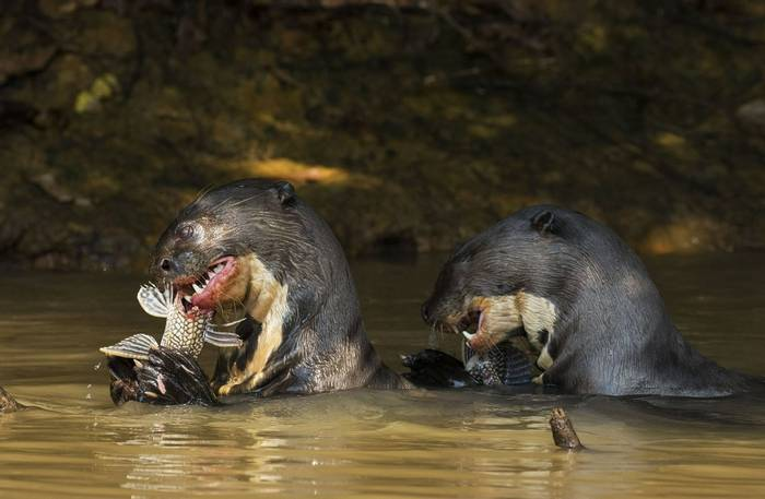 Giant River Otters (Kevin Wood)