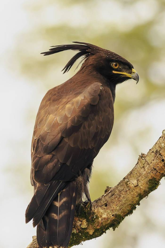 Long Crested Eagle Shutterstock 742907941 2