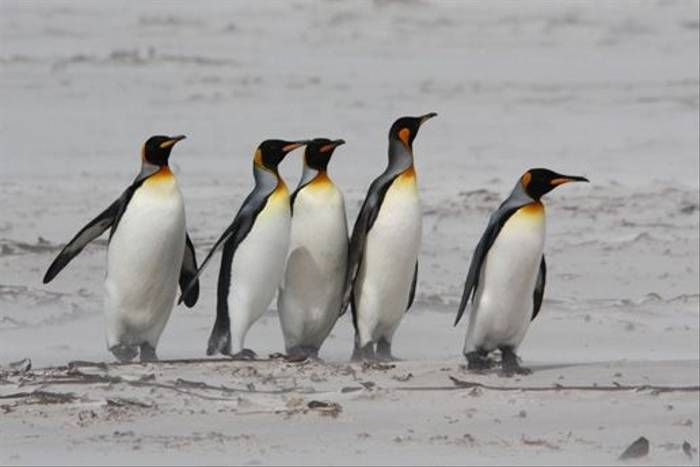 King Penguins (Alan Henry)