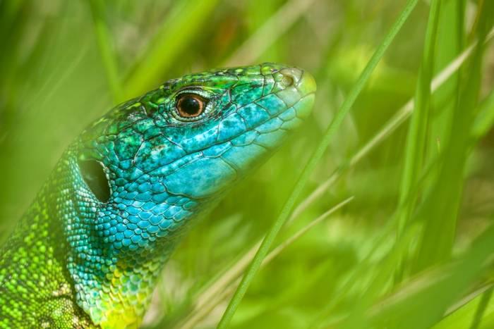 Western Green Lizard, France, Europe shutterstock_473774608.jpg