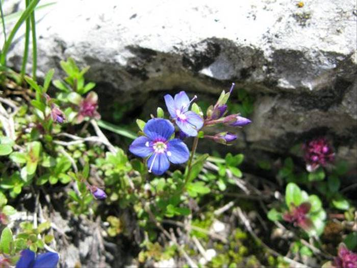 Veronica fruticans - Rock Speedwell (Paul Harmes)