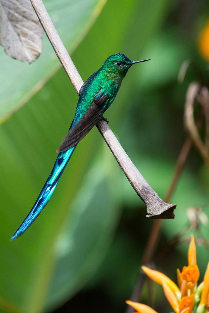 Long Tailed Sylph (Juan Palmero)
