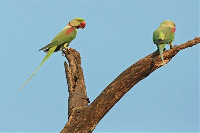 Alexandrine Parakeet (Graham Cutts)