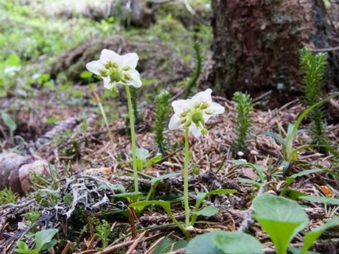 One Flowered Wintergreen