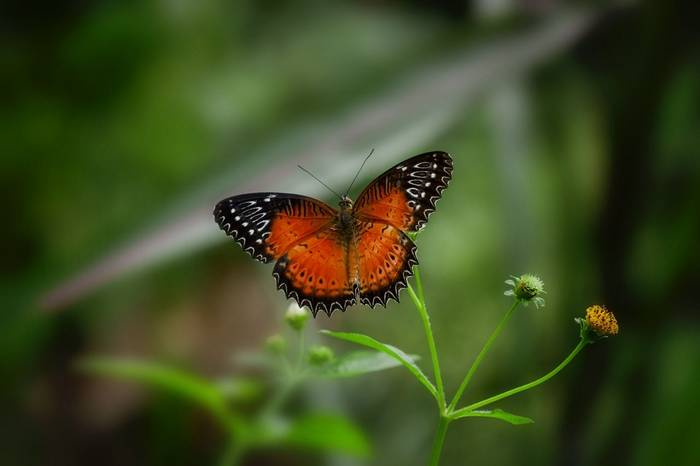 Red Lacewing butterfly, Papua New Guinea shutterstock_744866245.jpg