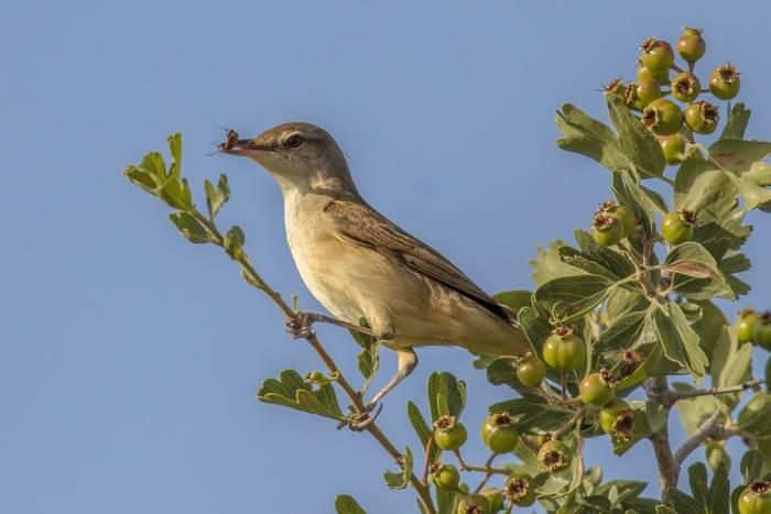 Olive-tree Warbler, Cyprus, Greece shutterstock_602779583.jpg