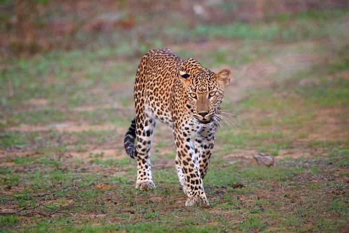 Sri Lankan Leopard, Sri Lanka shutterstock_515365489.jpg