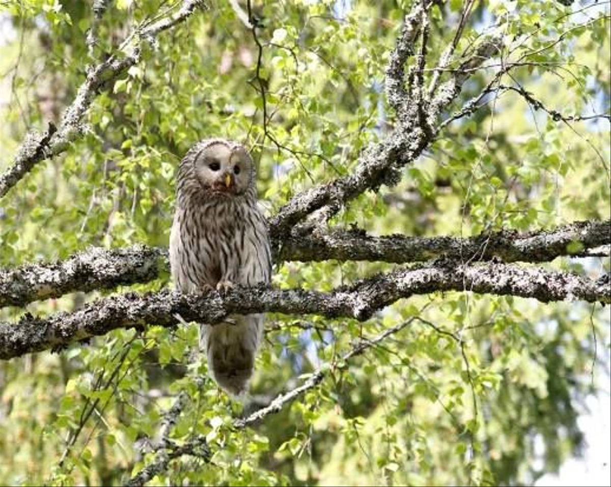 Female Ural Owl (Daniel Green)