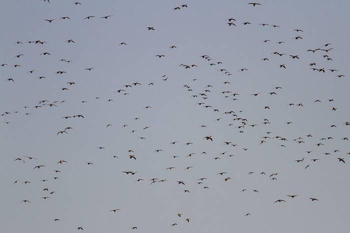 Greylag Geese (Javi Elorriaga)