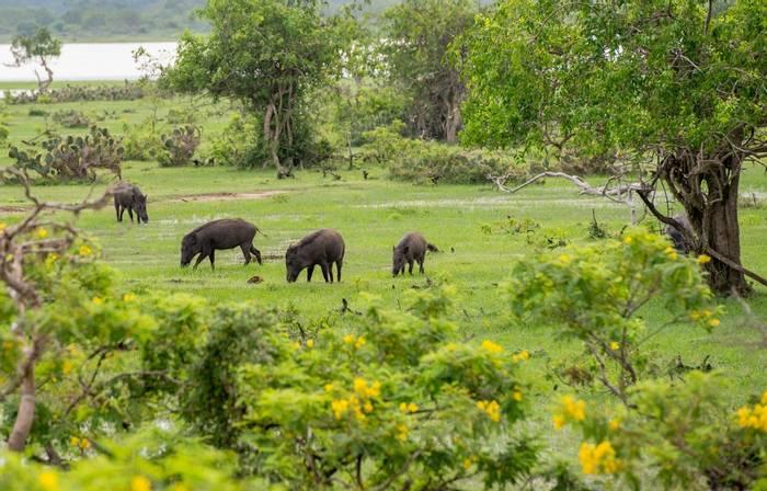Wild Boar, Sri Lanka shutterstock_361465625.jpg