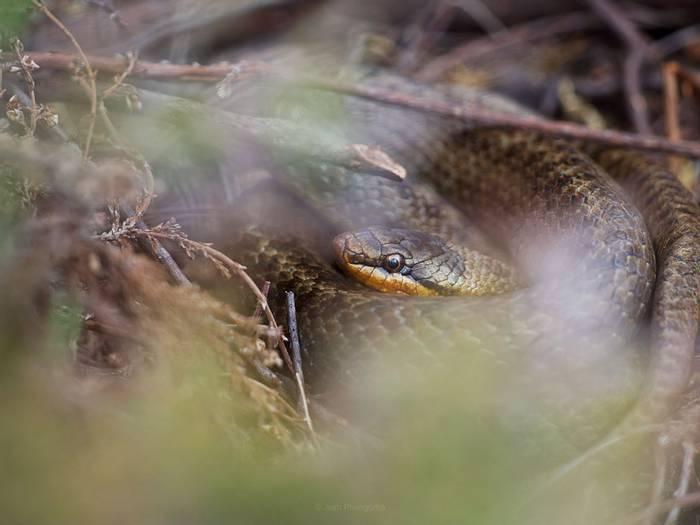 Smooth Snake (Josh Phangurha)