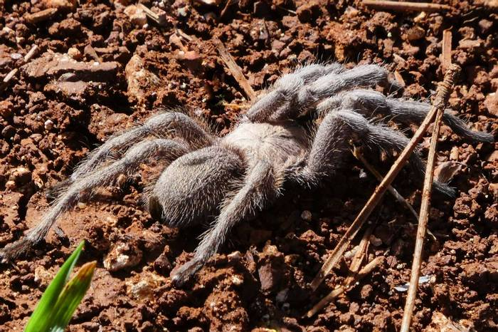 A Cyprus Tarantula (Lisa Williamson)