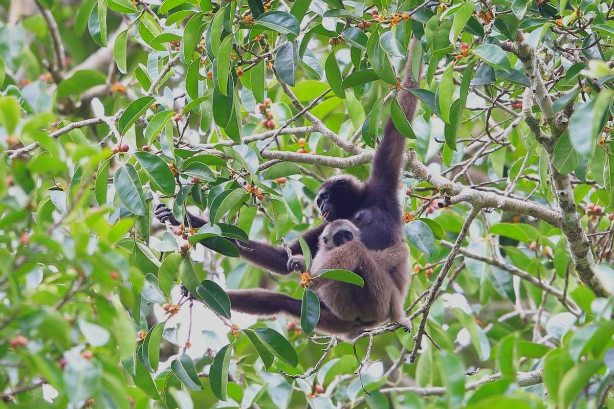 Mueller'S Gibbon, Borneo Shutterstock 685141765