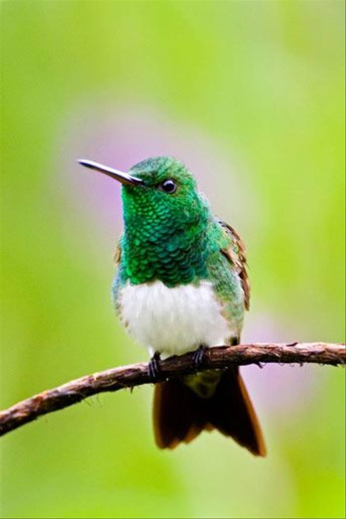 Snowy-bellied Hummingbird (David Tipling)