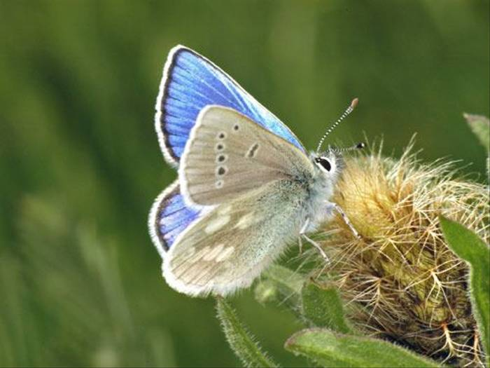 Alpine Blue Butterfly (Tony Daniels)