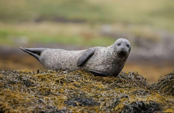 Grey Seal, UK, shutterstock_216900613.jpg