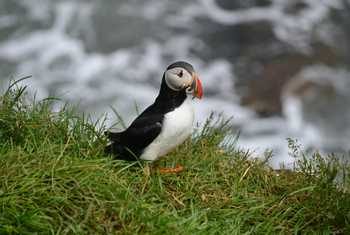 Puffin by D Phillips