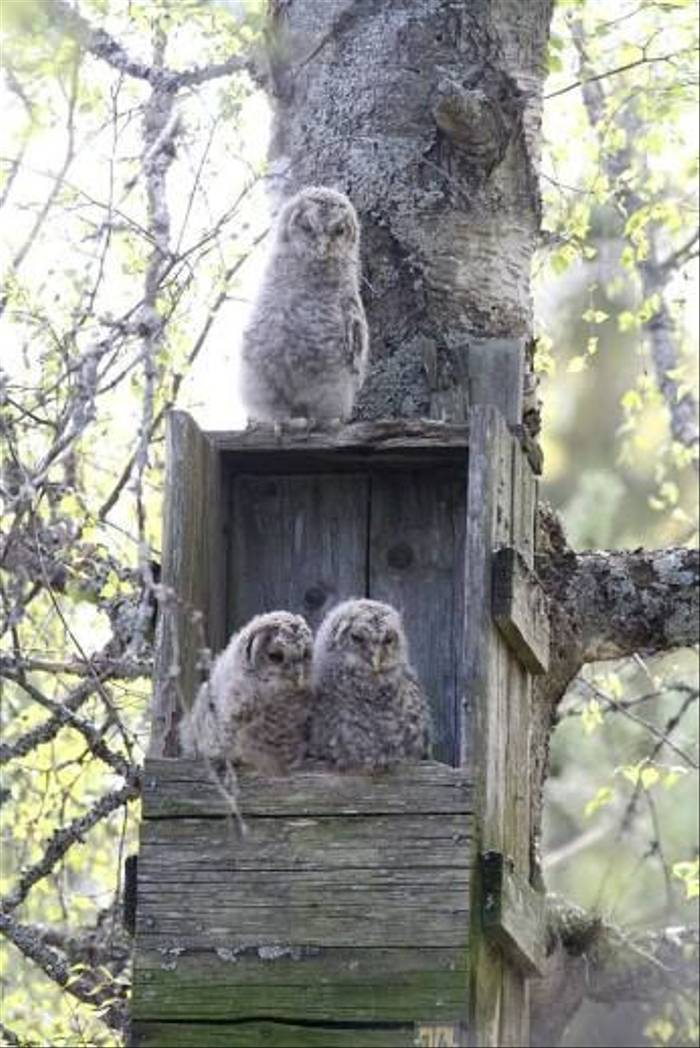 Ural Owl chicks ready to jump (Daniel Green)