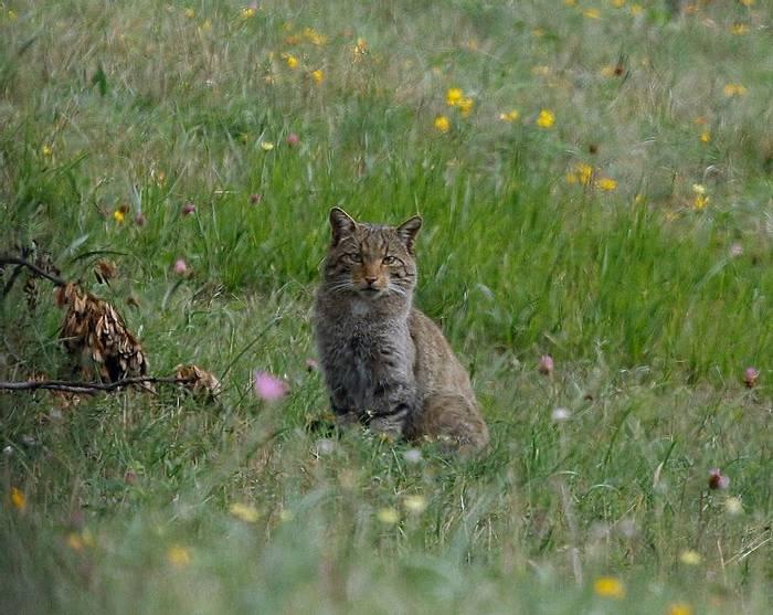 Female Wildcat
