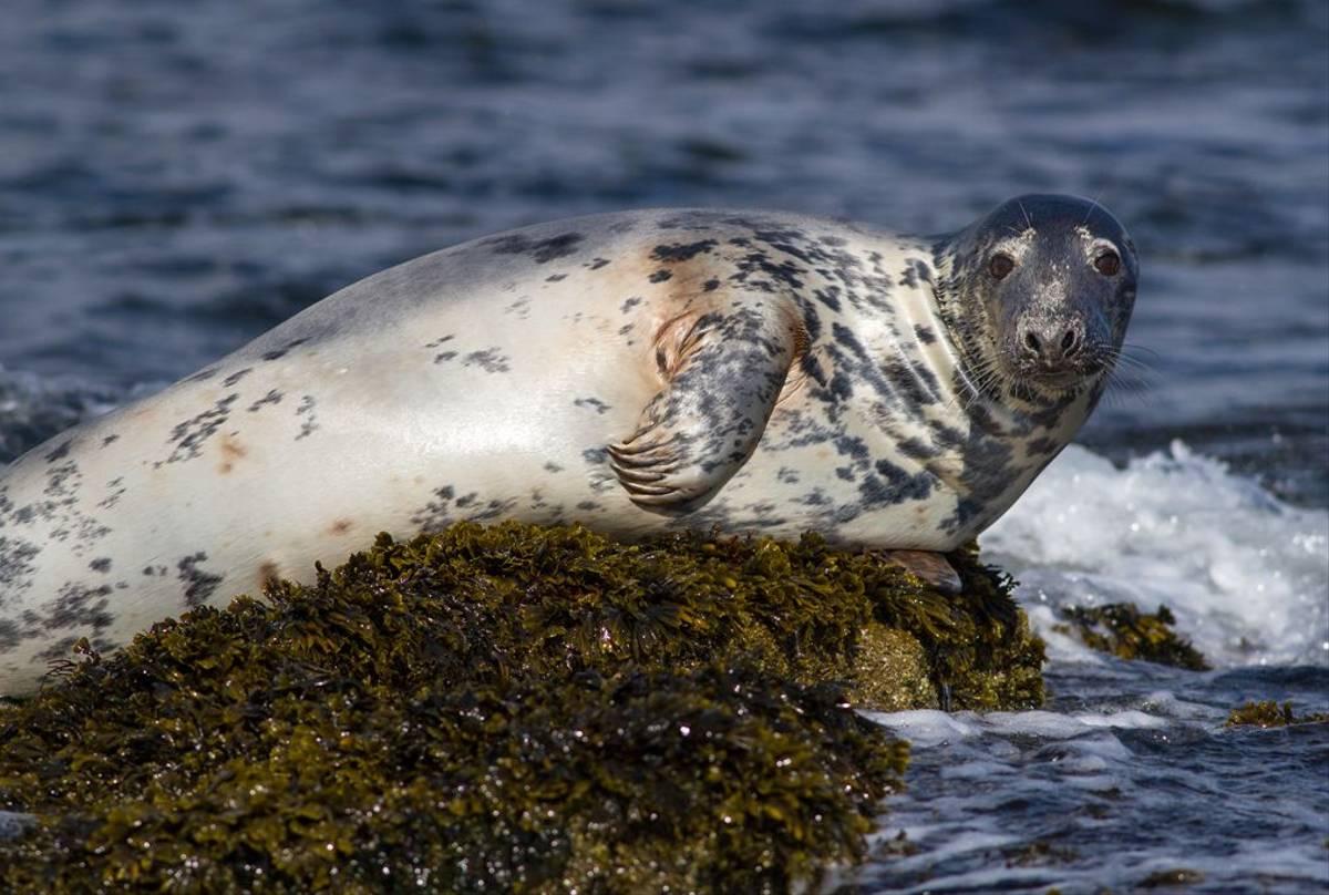 Grey Seal, Farne Islands (© Robert Harvey)