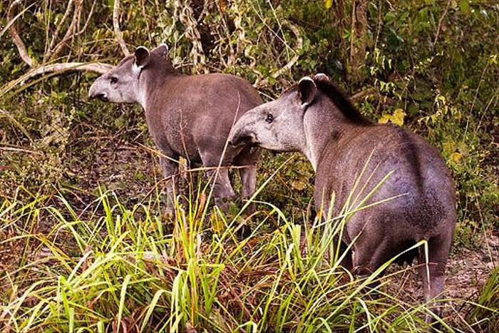 Brazilian Tapir (Dani Free)