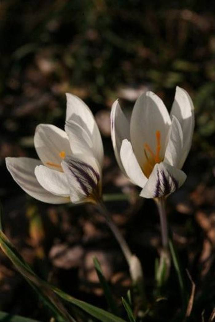 Crocus laevigatus (David Tattersfield)