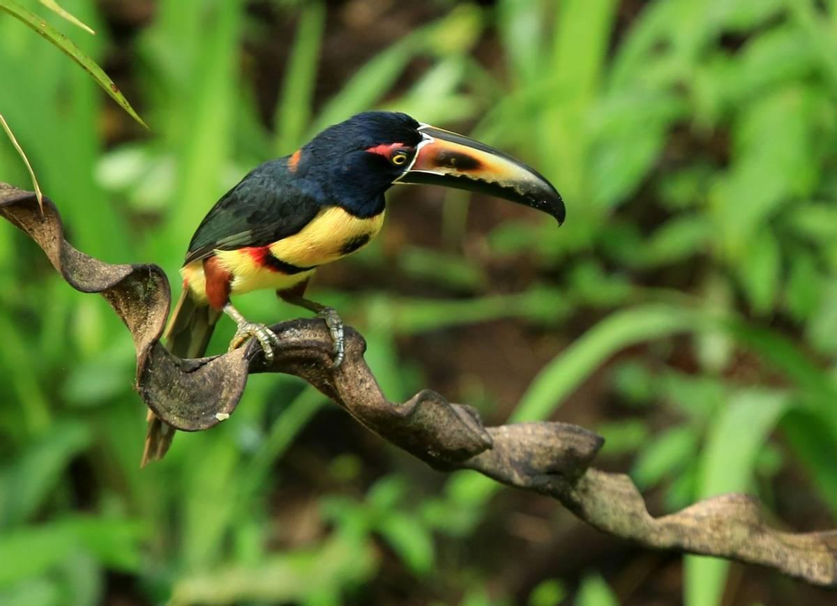 Collared Aracari (Janice Fiske)